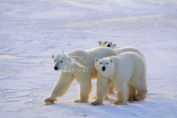 Polar bear female wih two young cubs.(Ursus maritimus)