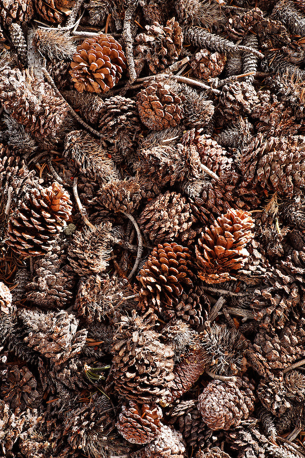 Detail of bristlecone pine cones on ground, Inyo National Forest, White Mountains, California, USA