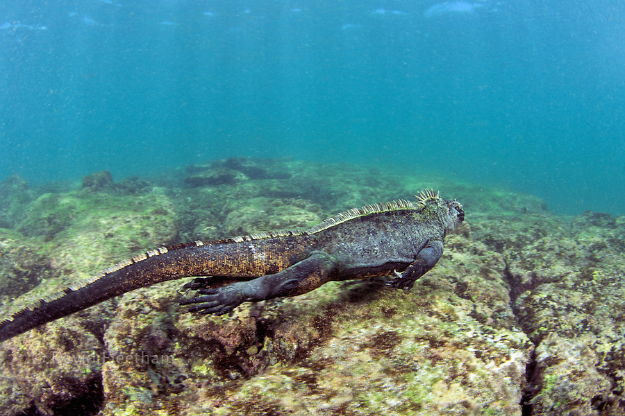 This marine iguana, Amblyrhynchus cristatus, was photographed munching on algae in a tidepool.  The background lava flow was also shot in Galapagos and digitally added to the image.  Galapagos Islands.