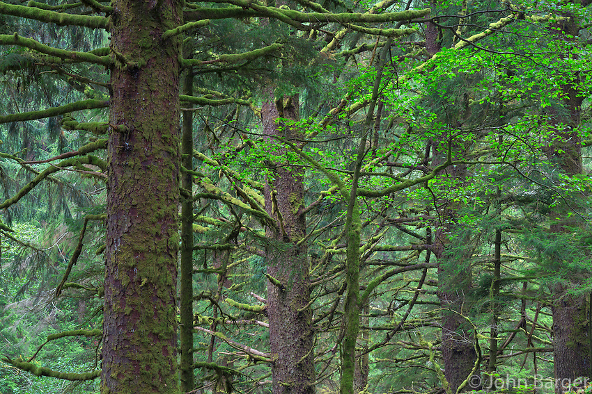 ORCOC_D286 - USA, Oregon, Siuslaw National Forest. Cape Perpetua Scenic Area, Old growth coastal rainforest of Sitka spruce (Picea sitchensis).