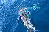Stock Photo of Common Dolphin