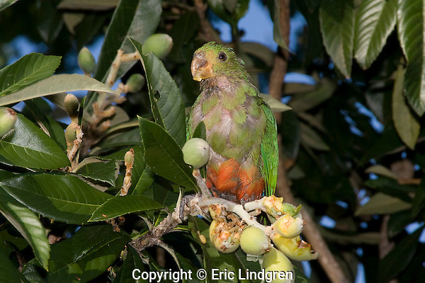 An immature Australian King Parrot suffering from Beak & Feather Disease feeds upon a fruit on a Loquat Tree.   //   Australian King Parrot - Psittacidae: Alisterus scapularis. Length to 43cm, wingspan to XXXcm, weight to 210g . Found in tropical and temperate rain forests, woodland and suburban areas  on the east coast of Australia from Cooktown in Queensland, to Otway Range in Victoria. Immature birds have similar plumage to the female - green head and neck, remainder duller than male, and bill black. Solitary or in small groups. Conservation Status: Least Concern.  /  Loquat Tree - Rosaceae: Eriobotrya japonica. Height to 10m, usually to 4m, canopy to 4m. Fruit round to oval, length to 5cm. Edible, with a sweet pulp and large central seeds. Flowers white, 2cm. Originally from south-east China, introduced to Japan, now grown world-wide in suitable climates.  Also known as Japanese Medlar,  Japanese Plum, Chinese Plum.  /  Psittacine Beak & Feather Disease, attacks Parrots and Hookbills - Circoviridae: Circovirus sp. Attacks feather follicles, causing deformed feathers, ultimately destroying all feathers on a bird and leading to loss of flight and death.  Beak and claws become overgrown and deformed, leading to inability to feed and ultimately death. Transmitted by direct contact with infected birds, often from parents, as chicks in the nest hole, or from congregations on bird feeders.