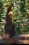 Forest Scene, Red Fir Stump, Abies magnifica, Taft Point Trail, Yosemite National Park