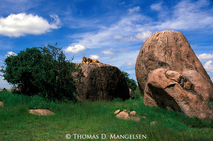 Lion and Lioness (Panthera leo) on top of a rock in the Serengeti National Park, Tanzania