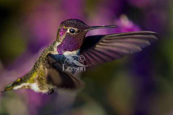Male Anna's Hummingbird (Calypte anna) showing iridescent gorget feathers.  California.  Fall.