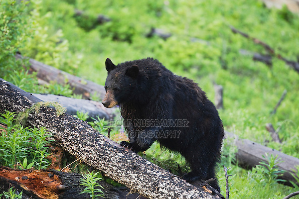 Black Bear (Ursus americanus), adult on log, Yellowstone National Park, Wyoming, USA