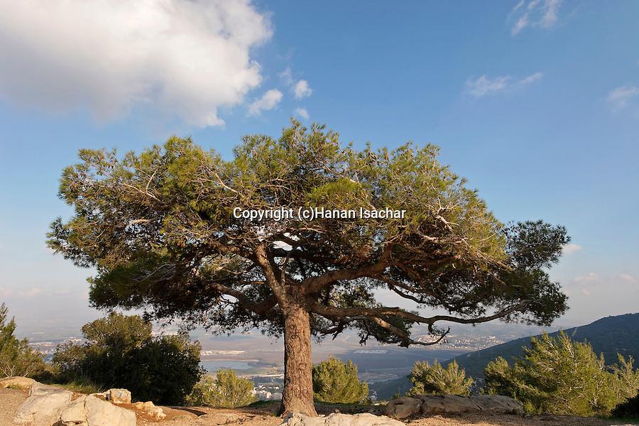 Mount Carmel. A Pine tree overlooking Haifa bay