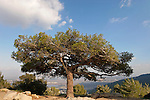 Mount Carmel. A Pine tree overlooking Haifa bay
