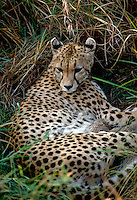 African, wild animal. View of a reclining cheetah shows distinctive spotted coat. This beautiful mammal is reported to achieve running speeds of up to 70 miles an hour when pursuing prey and is considered to be the fastest land animal in the world. Fur. M