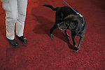 A Bureau of Alcohol, Tobacco and Firearms, ATF,  bomb sniffing dog patrols the floor of the Detroit Auto Show in Detroit, Michigan on January 12, 2009.