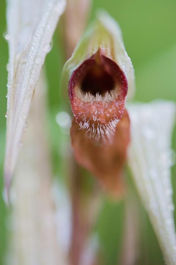 Flower detail of Small-flowered Serapias (Serapias parviflora), San Marino.
