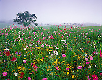 Cosmos flowers and Black-eyed Susans in foggy field, Union, Kentucky.