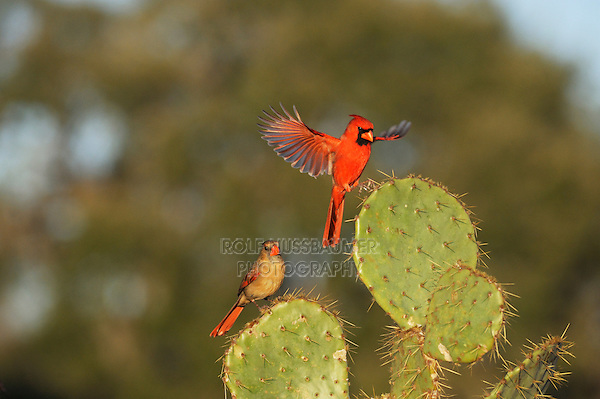 Northern Cardinal (Cardinalis cardinalis), pair landing on Texas Prickly Pear Cactus (Opuntia lindheimeri), Dinero, Lake Corpus Christi, South Texas, USA