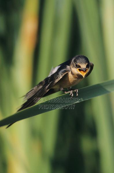 Barn Swallow, Hirundo rustica,young on cattail, Lake Corpus Christi, Texas, USA, May 2003