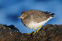 Surfbird (Aphriza varigata) in basic (winter) plumage. King County, Washington. February.