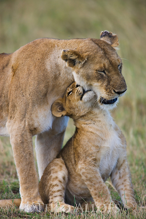 Lion mother and cub. | Theo Allofs Photography