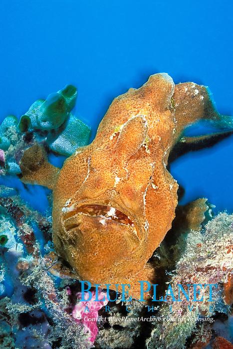 giant frogfish, Antennarius commersonii, Mabul Island, Sabah, Borneo, Malaysia