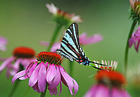 Courtesy photo/TERRY STANFILL<br /> A fast shutter speed is critical when photographing wildlife, Stanfill says. Fast shutter speeds freeze action, such as the wings of this zebra butterfly on a coneflower.
