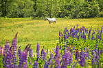 Colorful Lupines and White Horse Enjoying Meadow in White Mountains of New Hampshire