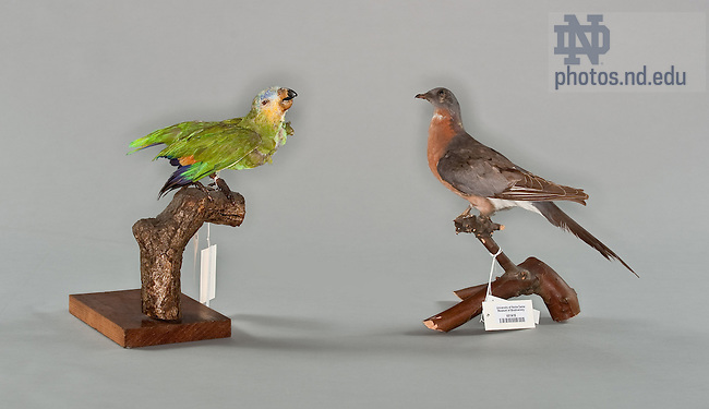 Carolina Parakeet, (left) and Passenger Pigeon..One of the items in the collection of the Museum of Biodiversity in the Jordan Hall of Science.  For Notre Dame Magazine.