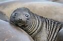 Southern Elephant Seal pup (Mirounga leonina). King Haakon Bay, South Georgia. November.