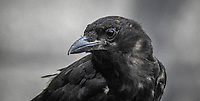 Photograph of a black crow in British Columbia Canada.