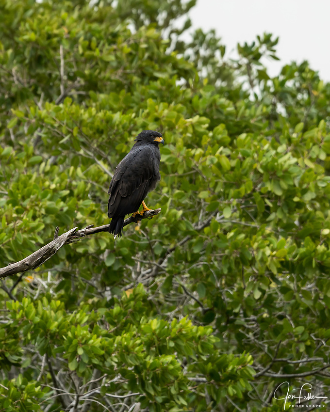 A Common Black Hawk, Buteogallus anthracinus, perched in a tree in the Ria Lagartos Biosphere Reserve in Yucatan, Mexico.