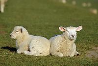Schafe in der Wedeler Marsch, Schleswig-Holstein, Deutschland