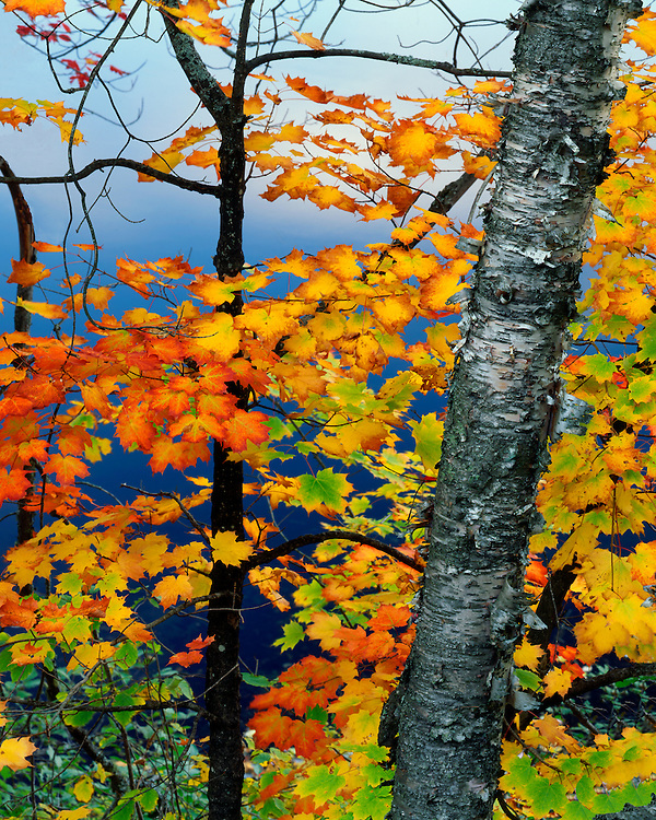 Maple and Birch trees in fall color above Stonybrook Pond; Adirondack Park And Preserve, NY