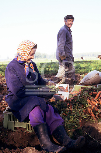 Poland. Farmer and his wife harvesting carrots in a field.