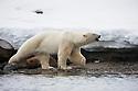 Norway, Svalbard, male polar bear along shore