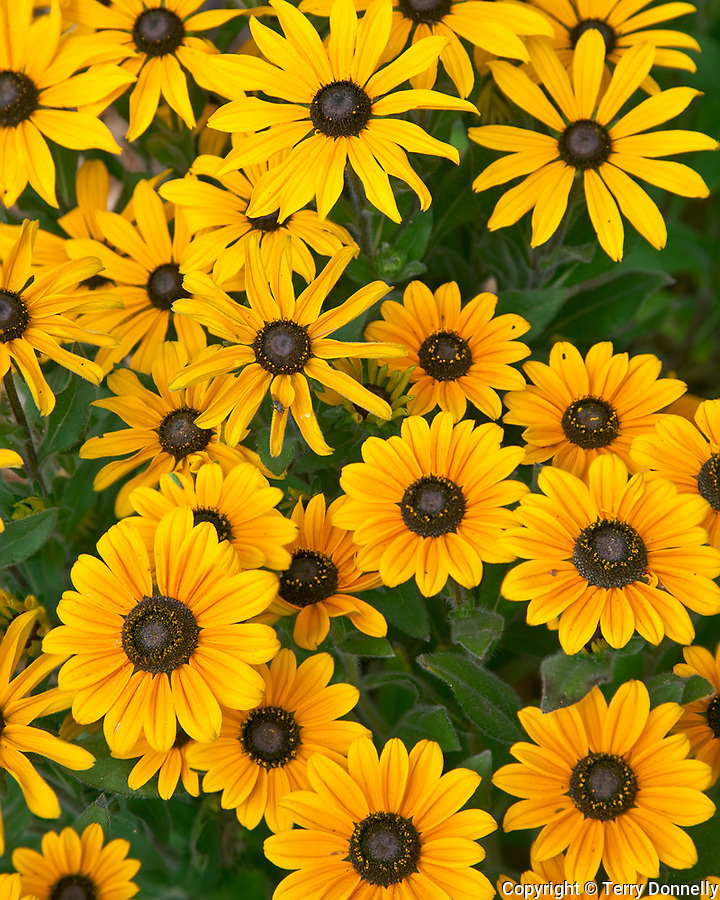Vashon Island, WA<br /> cluster of cultivated coneflowers in a summer garden