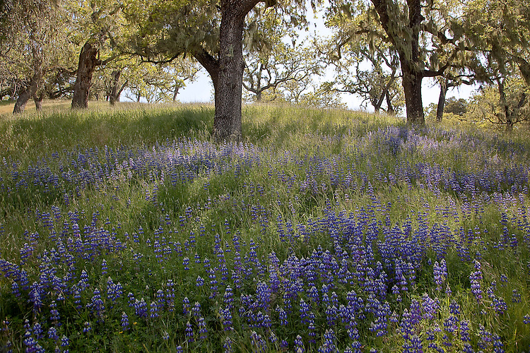 Lupine wildflower bloom in coastal range of California's central coast
