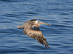 Brown pelican in flight over water