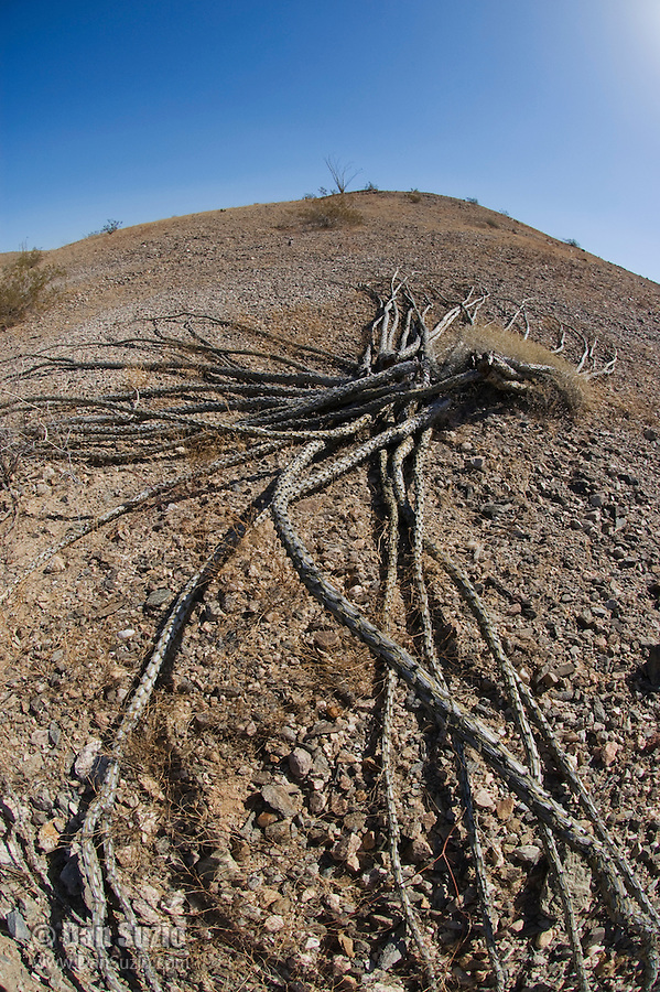 Dead ocotillo on ground, Fouquieria splendens, Imperial County, California