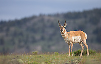 The pronghorn is North America's fastest land animal.