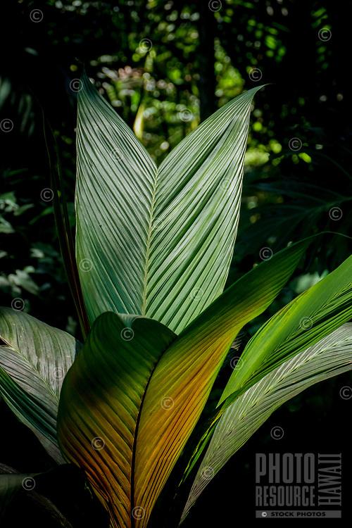 Plants in the sun at at Hawaii Tropical Botanical Garden near Onomea Bay in Papa'ikou near Hilo, Big Island of Hawai'i.