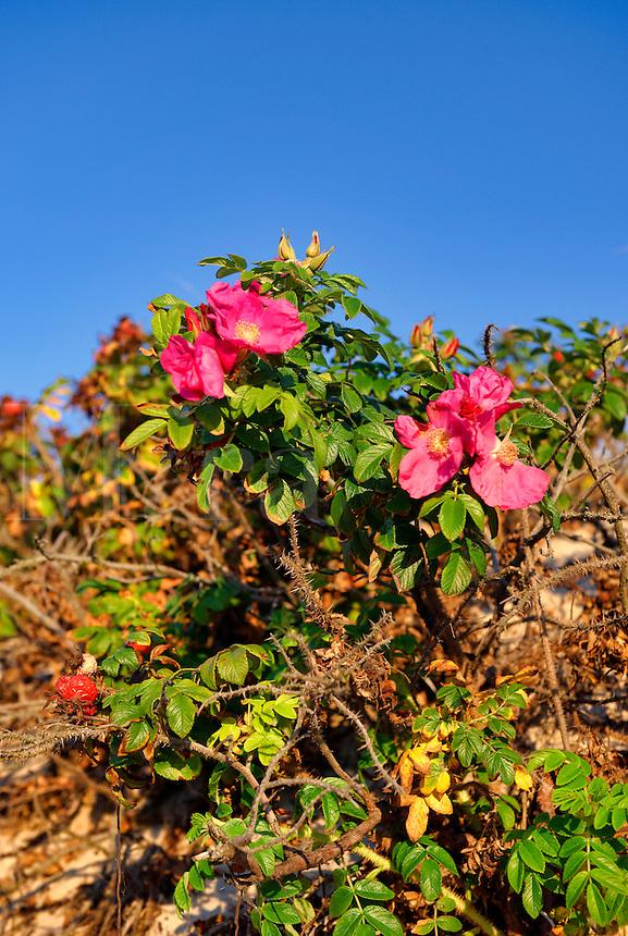 Rose hips,
