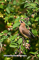 01415-02811 Cedar Waxwing (Bombycilla cedrorum)  eating berry in Serviceberry Bush (Amelanchier canadensis), Marion Co., IL