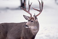 35-M07-DM-30    MULE DEER (Odocoileus hemionus californicus) male in snow, Wallowa-Whitman National Forest, Oregon, USA.