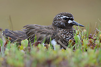 Black Turnstone (Arenaria melanocephala) brooding newly hatched chicks on a nest placed in willow and sedge. Yukon Delta National Wildlife Refuge, Alaska. June.