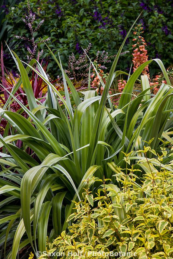 Astelia 'Silver Shadow' with Cistus 'Little Miss Sunshine'; foliage plants in garden border; Sunset Plants