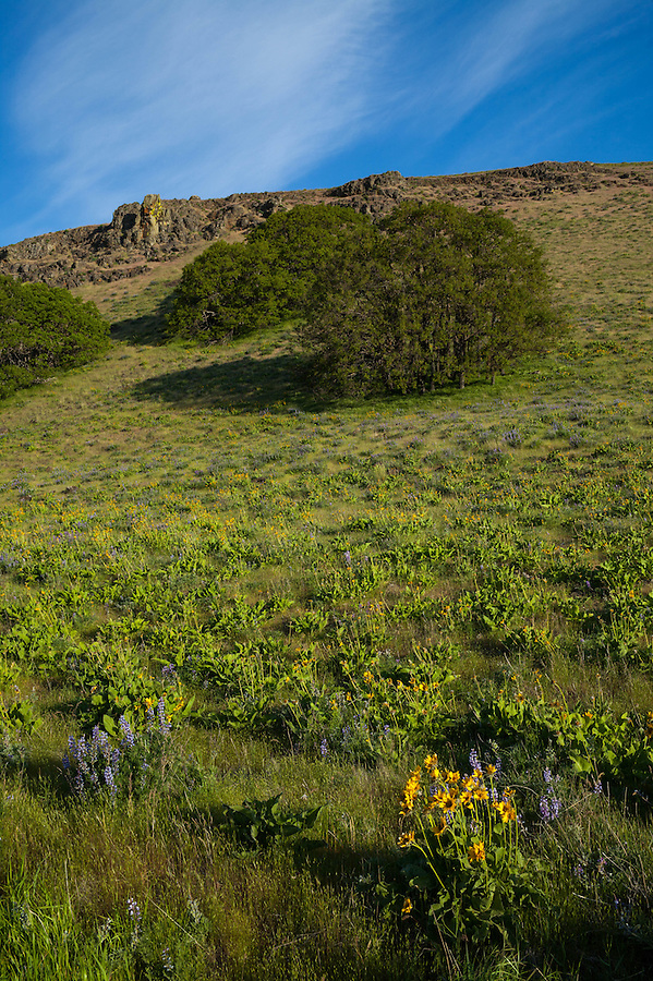 A rocky hill in Oregon is covered with trees, rocks, and balsamroot flowers.