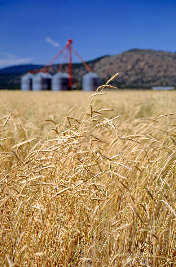 Field of wheat with grain silos - DORIS, CALIFORNIA