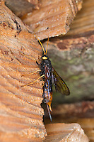 Riesen-Holzwespe, Riesenholzwespe, Holzwespe, Weibchen, Urocerus gigas, Giant Woodwasp, Banded Horntail, Greater Horntail, female, Holzwespen, Siricidae, Horntails