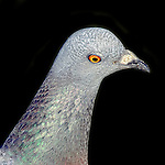 Rock Pigeon - Pigeons of Bolsa Chica, California. Photograph by Alan Mahood.