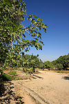 Israel, Shephelah, a Fig tree by the Roman water system in Park Canada