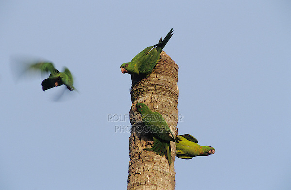 Green Parakeet, Aratinga holochlora,adults on palm tree, Brownsville, Rio Grande Valley, Texas, USA