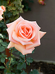Rosa hybrid tea, Apricot Passion Rose
