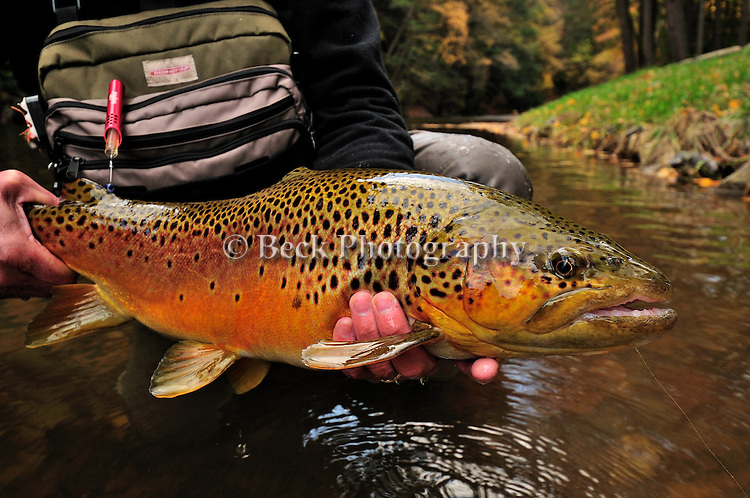 a nice fall brown trouit